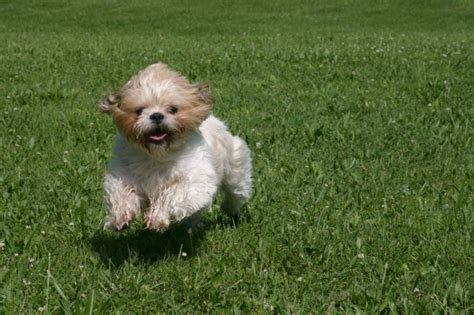 my shih tzu doesn t want to eat when the bites 4 reasons dogs runners and how to avoid fido s fangs