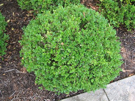 Boxwood Planters by Plant Guide Buxus Microphylla Green Pillow