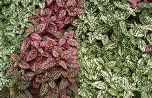 hypostes polka dot plant indoor office plants