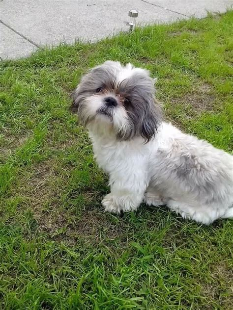 grey shih tzu puppies for sale 1000 images about shih tzu on maltese pets and brussels griffon puppies