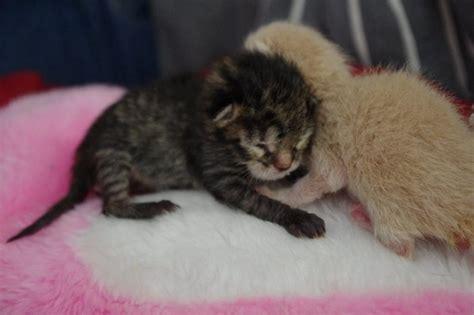 3 chatons nouveaux n 233 s orphelins forum soigner chat
