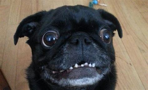 pug teeth 10 pictures only pug owners will think are