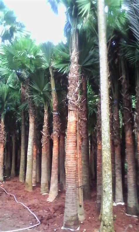jual pohon palem sadeng minyak murah livistona