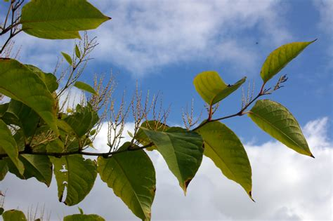 would you buy a house with japanese knotweed japanese knotweed what you need to know