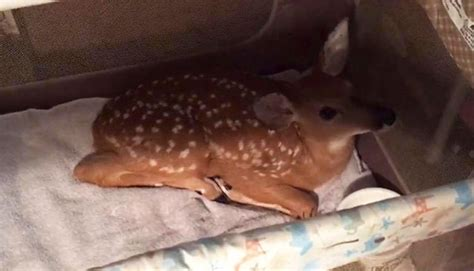 saves baby deer jumps into the water to save baby deer from drowning top13