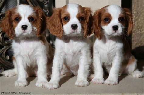 cavalier king charles spaniel puppies for sale adorme cavaliers has stunning puppies for sale to companion homes registered health tested