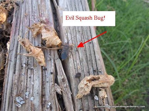 21 best images about Texas on Pinterest   Jazz, Bug