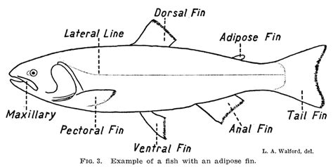 diagram of fish the adipose fin mysteries with new answers the