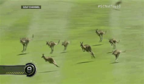 Kangaroos Running Original 02 delightful gifs of a kangaroo delay during a golf