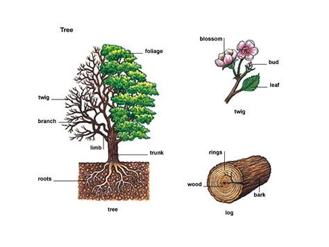 Tree Canopy Definition by Meaning Differences Between Branch Twig And Bough