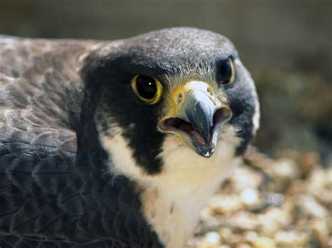 peregrine falcon nebraska bird library