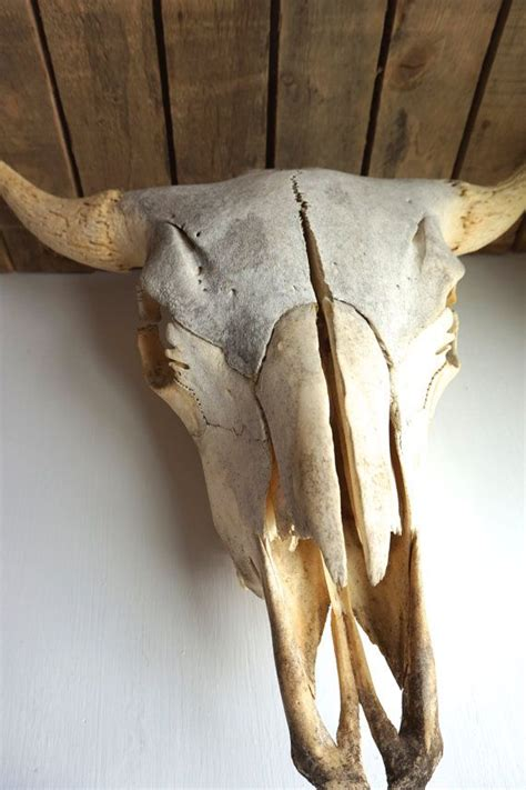 taxidermy home decor vintage large bison skull buffalo skull animal bones