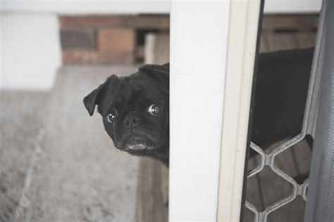 owning a pug confessions of a pug fears of owning a pug the pug diary
