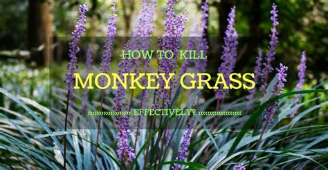 how to get rid of grass in flower beds best 25 monkey grass ideas on pinterest backyard fences yard landscaping and types