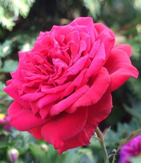 17 best images about scented roses on pinterest hybrid tea roses early spring and flower