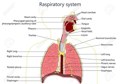 images of the respiratory system diagram of respiratory system anatomy and physiology