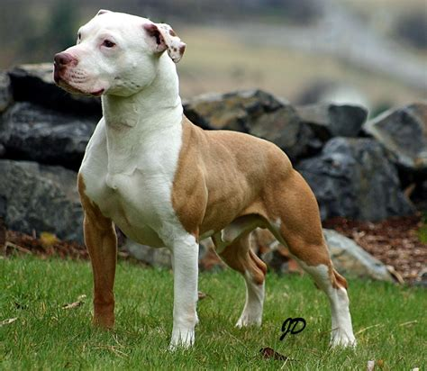 American Pit Bull Terrier | Galaxy Of Entertainment