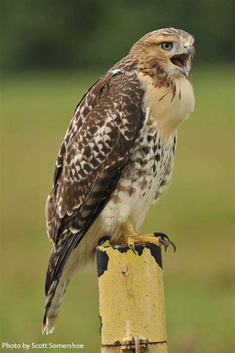 type of hawks in tn tennessee watchable wildlife tailed hawk habitat