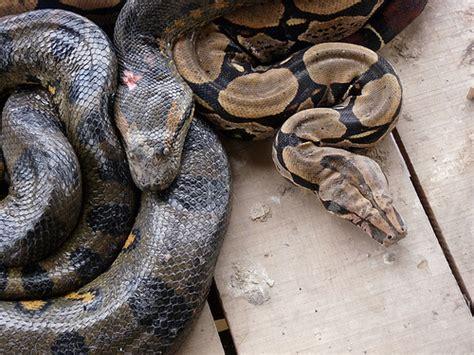 film tentang ular anaconda anaconda ular raksasa di dunia juragan cipir