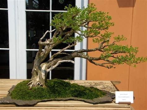 bonsai da interno elenco bonsai da interno bonsai bonsai per appartamento