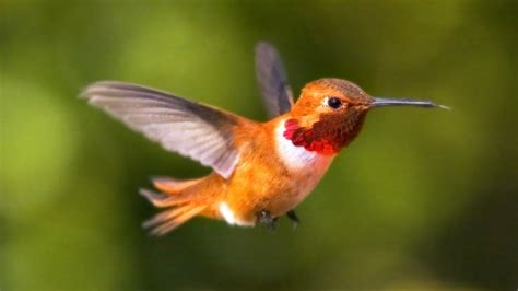 rufous hummingbird population in north america appears to