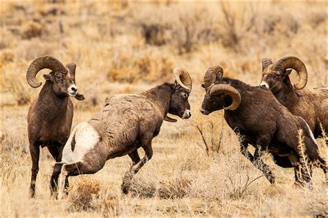 big rams fighting bighorn rams shoshone national forest wyoming