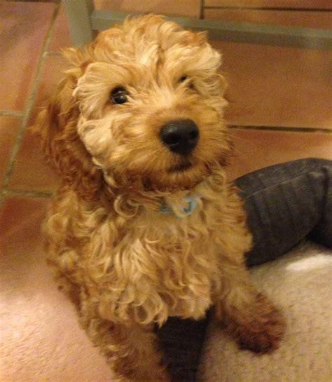 15 week puppy cockapoo puppy 15 weeks olney buckinghamshire pets4homes