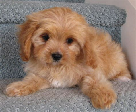breeders in cavoodle in hong kong fluffy puppies