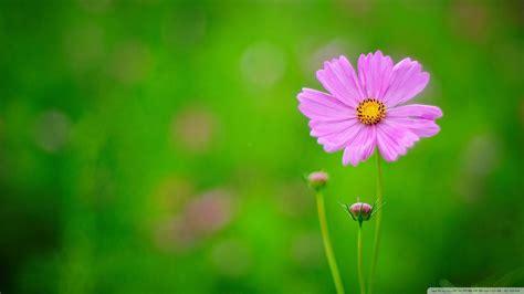 wallpaper green flower download pink flower green background wallpaper 1920x1080