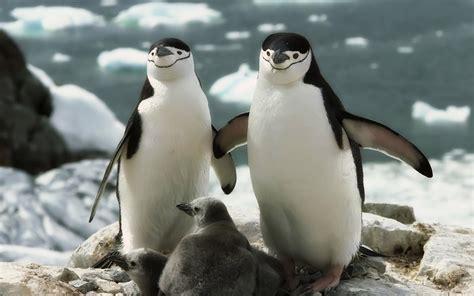 Top Pinhuin penguin wallpapers best wallpapers
