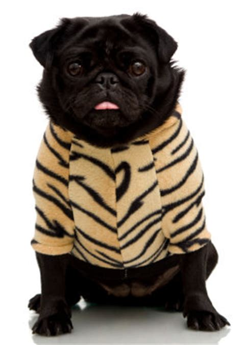 pug puppy clothes clothes and pugs