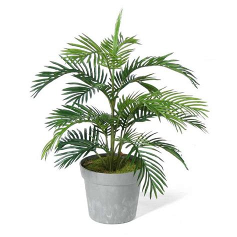 areca palm areca palm tree alexander palm tree plants and palms