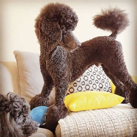 how to get a ponytail on a poodle 1000 images about caniches poodles on pinterest