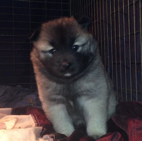 eurasier puppies for sale eurasier puppies widnes cheshire pets4homes