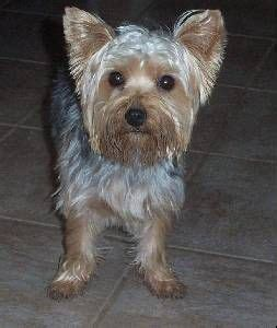 silky terrier with haircut 1000 ideas about silky terrier on pinterest yorkie