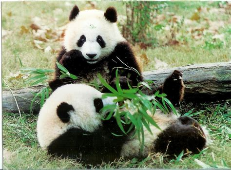 panda china remembering letters and postcards mail across