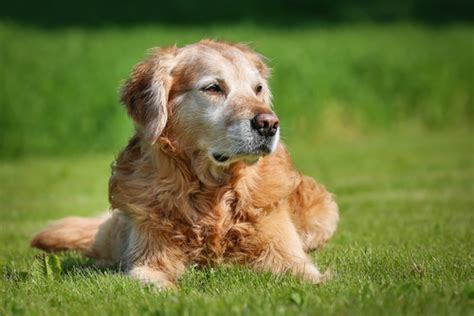 caring for a golden retriever caring for senior dogs golden retriever edition dgp for