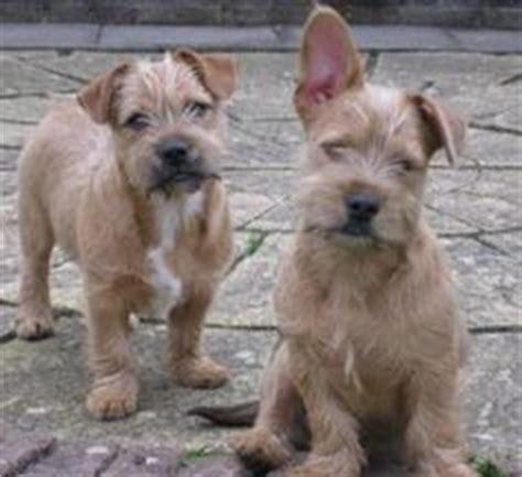 bulldog mixed with yorkie mini schnauzer puppies miniature schnauzer bulldog mix and dogs dogs
