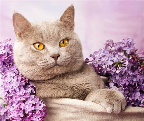 cat wallpaper for home wallpaper british cat cute animals lilac animals 4464