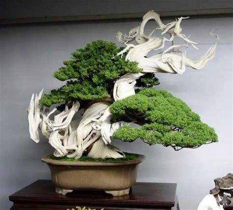 Juniper Top top 10 juniper bonsai trees bonsai empire