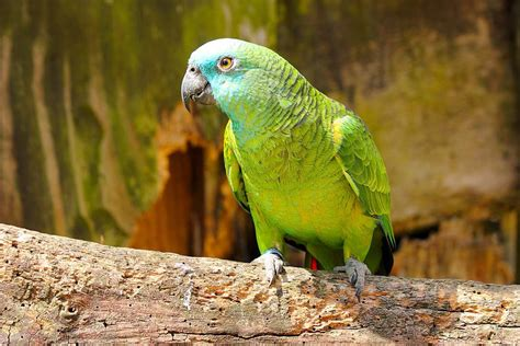 amazon parrot keeping amazon parrots as pets