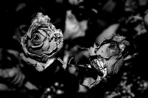 imagenes blanco y negro sin grises im 225 genes de flores blanco y negro fondos de pantalla y