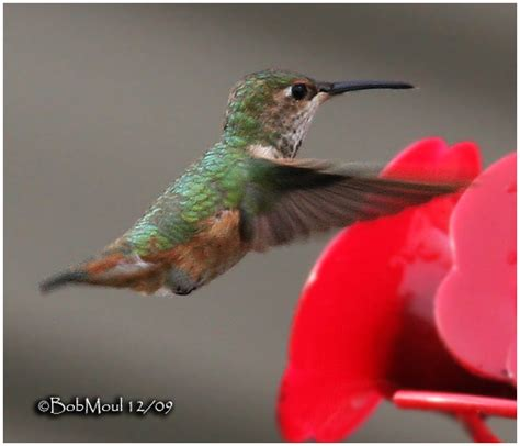 allen s hummingbird female pa state record photo bob