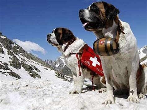 search dogs search and rescue dogs
