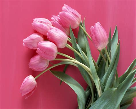wallpaper pink tulip pink tulip wallpapers wallpaper cave