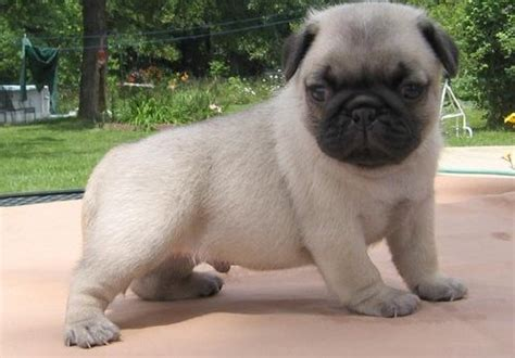 free puppies in tennessee dogs sevierville tn free classified ads