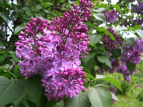 fiori viola a grappolo lill 224 coltivazione