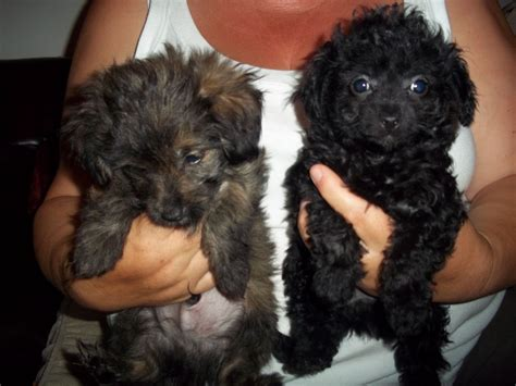 pomeranian poodle mix puppies for sale poodle x chihuahua x pomeranian faversham kent pets4homes