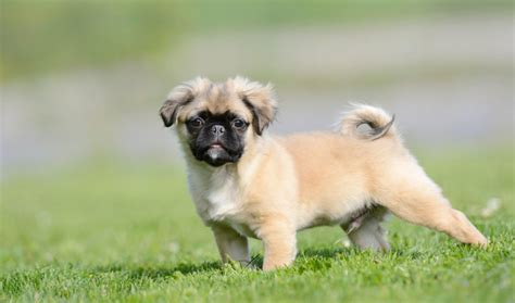 Flat Mix Pom pom a pug history facts personality temperament care