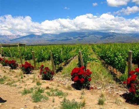 Backyard Growers Roses Protectors Of The Grape Vines